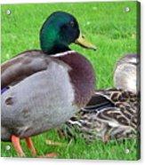 New Zealand - Mallard Ducks Acrylic Print