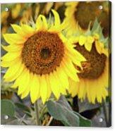 Nice Sunflowers Acrylic Print