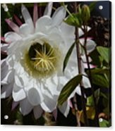 Night Bloomers Acrylic Print
