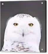 Snowy Owl 3256 A.k.a. Smiling Owl Acrylic Print