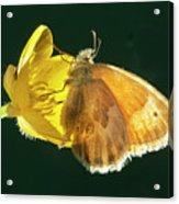 Ochre Ringlet Butterfly Acrylic Print