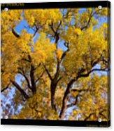 Old Giant  Autumn Cottonwood Acrylic Print