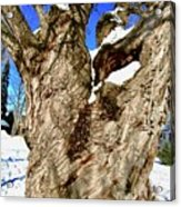Old Willow Tree Acrylic Print