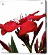 Oleander Blood-red Velvet 3 Acrylic Print