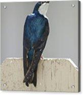 Ooooh My Swallow Acrylic Print