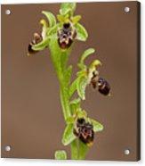 Ophrys Carmeli Acrylic Print
