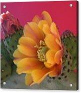 Orange Cactus Blossom  Acrylic Print