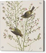 Orange Crowned Warbler Acrylic Print