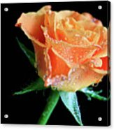 Orange Peach Rose Acrylic Print by Tracy Hall