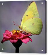 Orange Sulphur Butterfly Portrait Acrylic Print