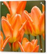 Orange Tulips Acrylic Print