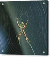 Orb Weaver Spider And Web Acrylic Print