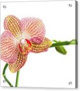 Orchid, Phalaenopsis, Flower Acrylic Print