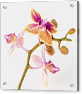 Orchid Study Acrylic Print