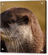 Oriental-small-clawed-otter Acrylic Print