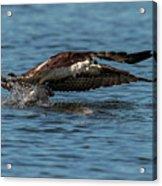Osprey Fishing Acrylic Print