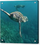 Pacific Green Sea Turtle Chelonia Mydas Acrylic Print