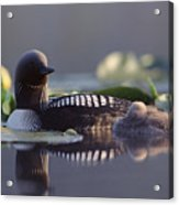 Pacific Loon Gavia Pacifica Parent Acrylic Print by Michael Quinton
