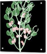 Pacific Mistletoe, Phoradendron Acrylic Print