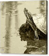 Painted Turtle On Mud In A Marsh Acrylic Print