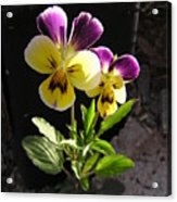 Pansy Out Of Cement Acrylic Print by Richard Mitchell