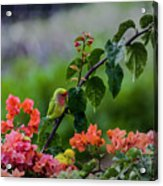 Parakeet South Maui Acrylic Print