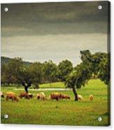 Pasturing Cows Acrylic Print