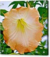 Peach Angel's Trumpet At Pilgrim Place In Claremont-california  Acrylic Print