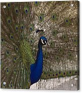 Peacock Close-up Acrylic Print