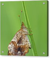 Pearl Crescent Acrylic Print