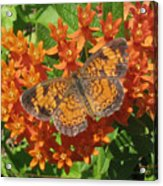 Pearly Crescentspot Butterfly Acrylic Print