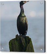 Pelagic Cormorant Acrylic Print