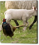 Pheasant And Lamb Acrylic Print