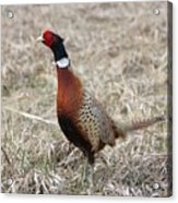 Pheasant Rooster Acrylic Print