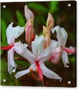 Piedmont Azalea Acrylic Print