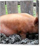 Pig Acrylic Print