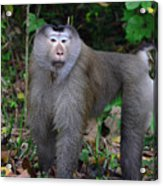 Pig-tailed Macaque Acrylic Print