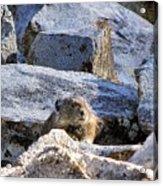 Mountain Pika Acrylic Print