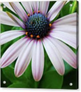 Pink African Daisy Acrylic Print