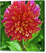 Pink And Yellow Dahlia In Golden Gate Park In San Francisco, California  Acrylic Print
