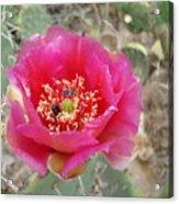 Pink Cactus Flower Acrylic Print