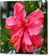 Pink Hibiscus Flower On A Tree Acrylic Print