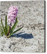 Pink Hyacinths Acrylic Print