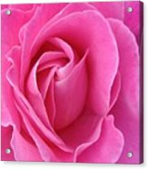 Pink Of Rose Acrylic Print