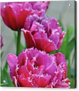 Pink Parrot Tulips Acrylic Print