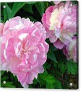 Pink White Peonies  Acrylic Print