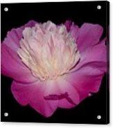 Pink Peony Petals Acrylic Print