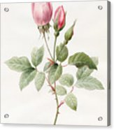 Pink Rose And Buds Acrylic Print