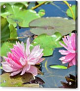 Pink Water Lily Series Acrylic Print
