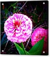 Pink Zinnia's Acrylic Print